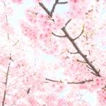 イベントは中止でも…桜は咲いている!平戸永谷川が春めき中