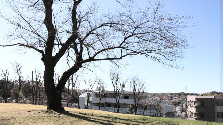 我が町のオススメ春スポット・上永谷緑地の一本桜と富士山
